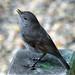 Bush Robin  New Zealand