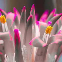 Sticks with color (LeChienNoir) Tags: pink flower color macro canon lucifer matches paars bloem kleur 2014 100mm28macro canonnl lechiennoir 5dm3 lechiennoirnl