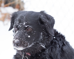Got my attention (Wayne Whitney) Tags: winter snow black cold intense retriever stare intensity