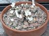 DSCF1470 (BobTravels) Tags: plant stone bob lithops lithop messem bobwitney