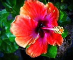 estrella (joelv_ph) Tags: flowers hibiscus natures justnature mycameraneverlies excellentsflowers mimamorflowers awesomeblossoms hibiscuswonder