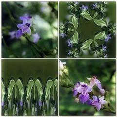 (Tlgyesi Kata) Tags: summer stereogram blossom mosaic botanicalgarden purpleflower mozaik lamiaceae chastetree flexify mnchspfeffer fvszkert vitex vitexagnuscastus botanikuskert chasteberry abrahamsbalm monkspepper withcanonpowershota620 gattilier bartcserje arbreaupoivre