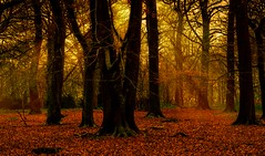 Sun Beams Through The Canopy (Trev Bowling) Tags: wood autumn trees orange sun fall leaves nikon forrest decay dell shade nikkor nationaltrust autumnal enchanted sunbeams 40mmf28 nikond3200 clumberpark d3200