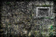Windows of old. Durham City. (CWhatPhotos) Tags: pictures camera old trees mist art window misty fog stone wall digital that lens four photography day foto durham with image artistic pics foggy picture roots ivy pic olympus images have photographs photograph fotos which built contain thirds em10 esystem cwhatphotos