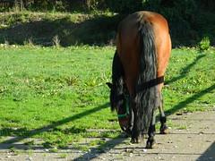 Horse (Clerss Malisha) Tags: horses horse animals performing cavalli cavallo domestico animali animale addestrato