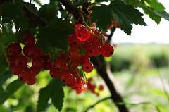Sweden 2014 (SS) Tags: light red summer vacation green composition dof angle pentax sweden july atmosphere tones k5 2014 ribesrubrum smcpentaxda1855mmf3556al ss frgstahlsingegrd