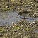 Baird's Sandpiper - Terra Fuoco - Argentina0002
