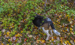 DSC07095 (johnjmurphyiii) Tags: autumn usa dog beagle connecticut cromwell fletch originaljpeg cromwellhighschool johnjmurphyiii 06416 sonycybershotdsch90
