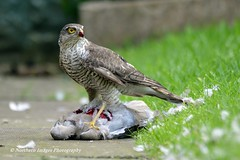 Sparrowhawk eating Collared Dove (Northern Images Photography) Tags: sparrowhawk