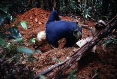Digging soil profile A (KarstenThomsen1) Tags: ecuador rainforest profile soil napo sampling yasun