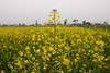 DSC_3280 (imagespakistan) Tags: water yellow crop agriculture mustardfield irrigation farmar sarson agri tubewell musterd
