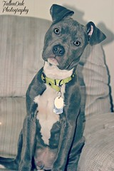 pretty, spoiled boy (Fallen Oak Photography) Tags: blue dog love animals cat puppy nose photography oak kitten gray adorable kitty fluffy pitbull fallen kc bluenose capone aniamls fallenoak fallenoakphotography