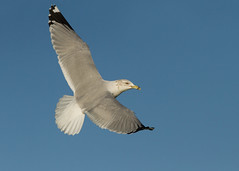 Ring-billed Gull - Larus delawarensis (Gary Faulkner's wildlife photography) Tags: gosport ringbilledgull