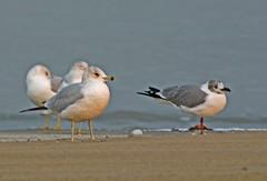 Ring-billed Gull, Laughing Gull (1krispy1) Tags: gulls ringbilledgull laughinggull texasbirds