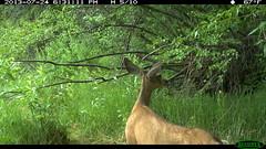 Doe Mule Deer (5/10) (Aspen Center for Environmental Studies) Tags: wildlife trailcamera deer muledeer herbivore mammal ungulate trail trailcam wildlifecamera