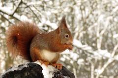 Red squirrel (manonvanderburg) Tags: winter snow nature forest squirrel sneeuw natuur eekhoorn