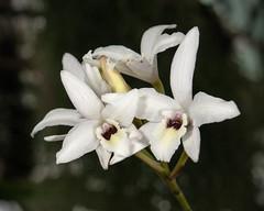 Laelia rubescens var. semialba - 2014-12-30-_DSC6071 (jakobae) Tags: winter pflanzen orchidaceae gewchshaus orchideen grten nachmittag greenhaus ausdehnung grsse bltenpflanzen spermatophyta samenpflanzen infloreszenz magnoliophytina umfang bedecktsamigepflanzen bltenknospen 01jakob locchzhgossaurjb blteblten gartenundgewchshauspflutiere bltenstandblten gartenundgewchshaus pflutiere angiospermaebedecktsamige bltesichffnend laeliarubescensvarsemialbavsutter