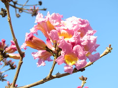 pink flowers and blue sky (oneroadlucky) Tags: pink sky plant flower nature      tabebuiarosea