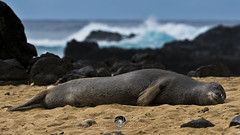 Sleepy (Stephen Ball Photography) Tags: ocean sea seascape beach canon mammal hawaii seaside oahu seal 5d seashore digitalphotography sandybeach kaenapoint pinniped monkseal hawaiianmonkseal hawaiianislands ef100400mmf4556lisusm ef100400mm stephenball 5dmarkiii stephenballphotography canon5dmkiii5d stephenballphoto