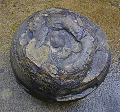 Coal Ball with Dunbarella shell fossils (Pitheadgear) Tags: shells fossil mine shell lancashire mines geology coal mijn fossils colliery coalball coalfield bacup collieries coalmeasures drmariestopes dunbarella hilltopcolliery coalballs unionseam burnleycoalfield