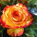 Yellow-Red-Rose