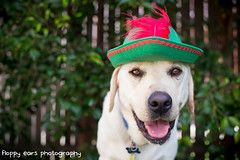 That time Mav was Peter Pan. (floppyearsphotography) Tags: dog labrador feather dressup peterpan disney neverland growup 52weeks