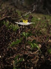 Wood Anemone (aniko e) Tags: white flower forest austria tirol spring hiking anemone ranunculaceae buschwindrschen anemonenemorosa windrschen woodanemone ranunculales szellrzsa berkiszellrzsa feuerkpfl
