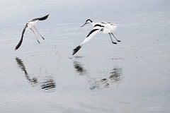 (Pakalou44) Tags: bird fly vol teich oiseau chasse avocette