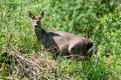 Roe Deer at Wigan Local Nature Reserve (phat5toe) Tags: nature animal nikon wildlife deer roe wigan flashes d300 greenheart lancashirewildlifetrust sigma150500