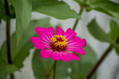 Pink Flower (sostenesmonteiro) Tags: pink flowers flores flower nature nikon natureza flor rosa d5200 sostenesmonteiro totecmt