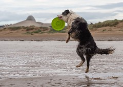 Catch (Chris Willis 10) Tags: beach collie play border will frisbee crosby frisby