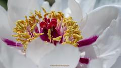 Die Schnheit der Natur (Mani Roos) Tags: macro spring pflanze blume makro blte frhling ef100mm ef100mmf28lmacroisusm canoneos7dmarkii