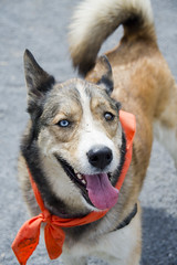 Wilma A190452 (13) (Ottawa Humane Society) Tags: dog dogs animal outside photography spring mix husky outdoor shepherd ottawa german ottawahumanesociety animalshelterphotography