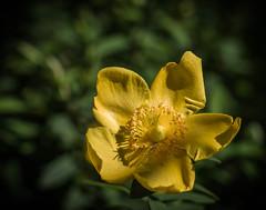 Yellow_MG_0344-2 (3Bs7Gs) Tags: gardens dallas texas yellowflower shrub hypericum medicinal springtime dallasarboretum invasive brilliantcolors stjohnswort