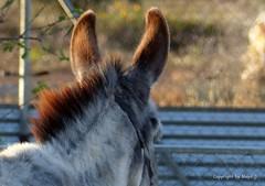 Amadisli - die Gefhrtin von Isis * Amedisli - the companion of Isis * Amedisli - el compaero de Isis * . P1270452-001 (maya.walti HK) Tags: animals tiere flickr donkeys ears animales burros esel ohren 2016 orejas eselsohren donkeysears 180516 panasoniclumixfz200 copyrightbymayawaltihk amadisli orejasdelburro
