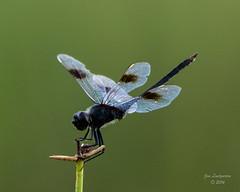 Dragonflies -32 (jimlustgarten) Tags: dragonflies lustgarten