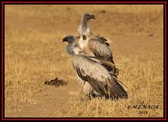 WHITE-BACKED VULTURE (Pseudogyps africanus)......MASAI MARA......OCT 2015 (M Z Malik) Tags: africa nikon kenya wildlife ngc safari npc masaimara maraserena d3x transmara exoticafricanbirds exoticafricanwildlife 200400mm14afs