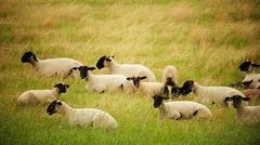 Les moutons<> Sheep. (France-) Tags: usa animal washington sheep campagne mouton champ palouse 334 steptoe