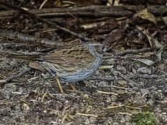 hunting dunnock DSC00570 (seyjo) Tags: sky tree bird animal ast branch himmel aves dunnock perch baum prunellamodularis tier vogel heckenbraunelle seyjo