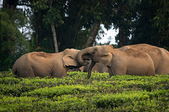 Young calves play (Ganesh raghunathan) Tags: family india play wildlife group peaceful herd carefree teaestate asianelephants mockfight