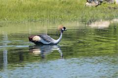 5651eastAfricanCrownedCrane (hc8907) Tags: bird easternafrica eastafricancrownedcrane balearicaregulorumgibbericeps
