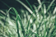 in the mood for silence (***toile filante***) Tags: summer green nature grass june juni dof bokeh sommer natur meadow wiese silence gras grn stille