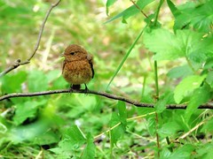 Fledgling Robin (robin denton) Tags: bird nature robin wildlife rspb leightonmoss