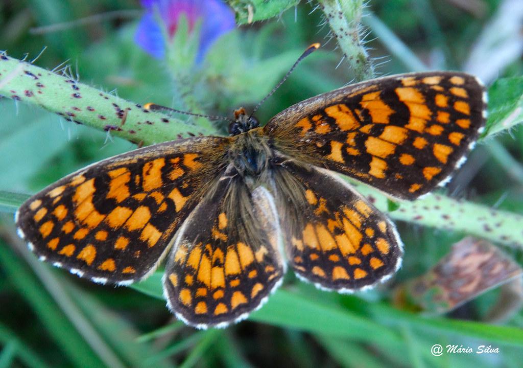 Águas Frias (Chaves) - ... borboleta a descansar ...