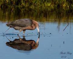 Reddish Egret  - Reflecting (explored 6/6/16) (dbking2162) Tags: beach nature water birds animal reflections florida fort wildlife shore wading egrets myers