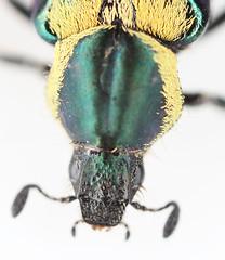 Macrodactylus sp.2014-10-20CSNGA_2908 c (mcclarinj) Tags: ecuador jim napo scarabaeidae mcclarin macrodactylus cosanga
