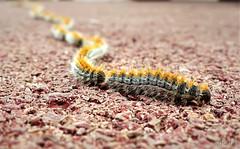 Cucs (Rafa Cantos) Tags: naturaleza macro nature animal cat bug catalunya gusano sabadell sonyrx3