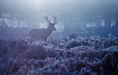 The Forest Depths (alex saberi) Tags: park uk england mist london nature haze stag wildlife richmond deer reddeer richmondpark stags