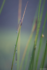 La folie des hauteurs (Naska Photographie) Tags: morning sun soleil photo photographie vegetation paysage extrieur insectes herbe libellule proxy matin photographe agrion proxyphoto naska odanate