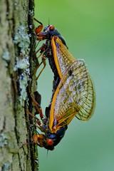 Mating Magicicada (17-year Cicada, Brood V) (magicnature) Tags: cicada v mating brood 17year magicicada